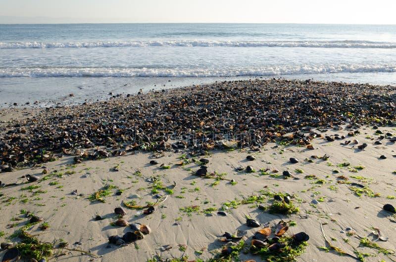 Sandpappra stranden som täckas med tvättat upp snäckskal och havsväxter arkivfoton