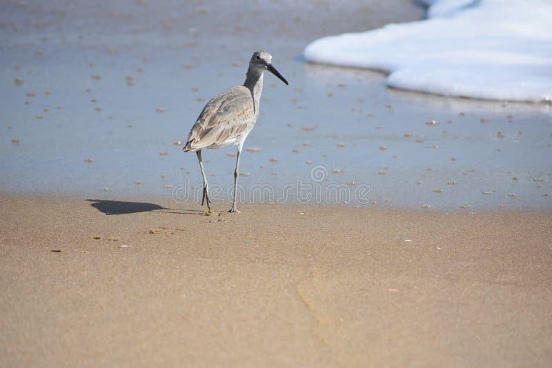 Sandpieper gosta do pássaro na linha costeira imagens de stock royalty free