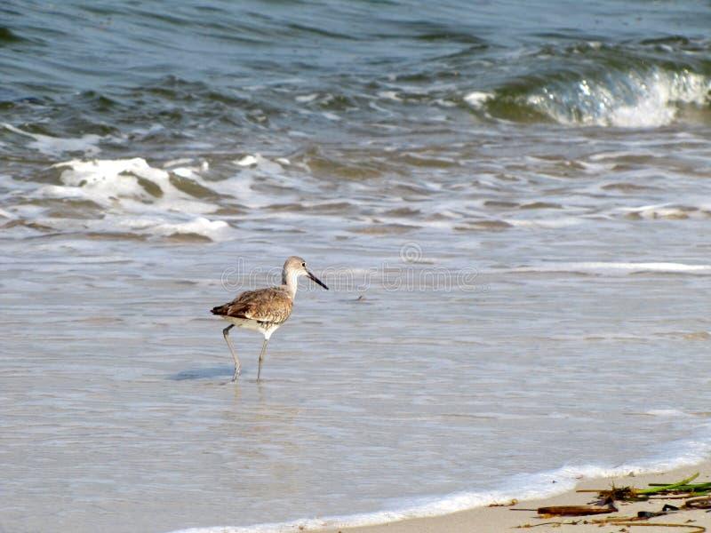 Sandpipblåsare som går i havet royaltyfri fotografi