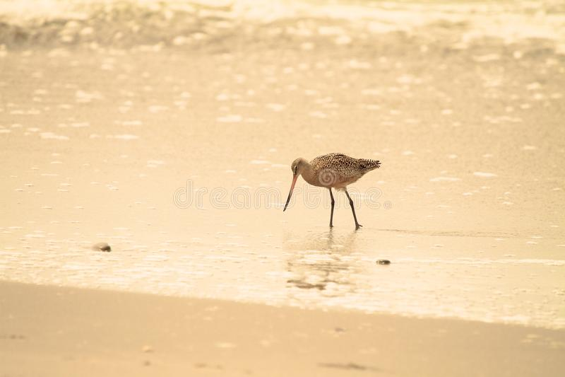 sandpiper пляжа стоковое фото