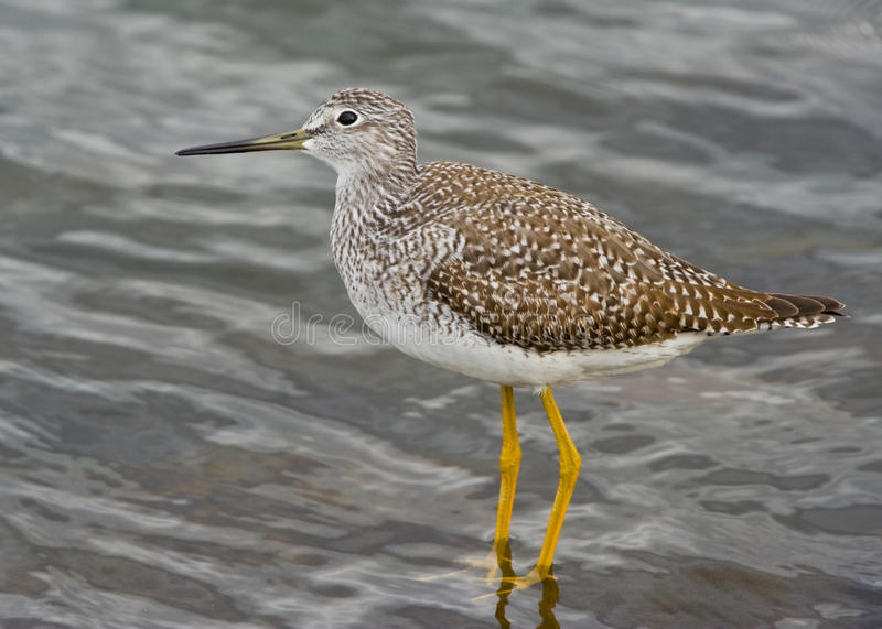 Download Sandpiper stock photo. Image of nature, migration, flying - 12109170