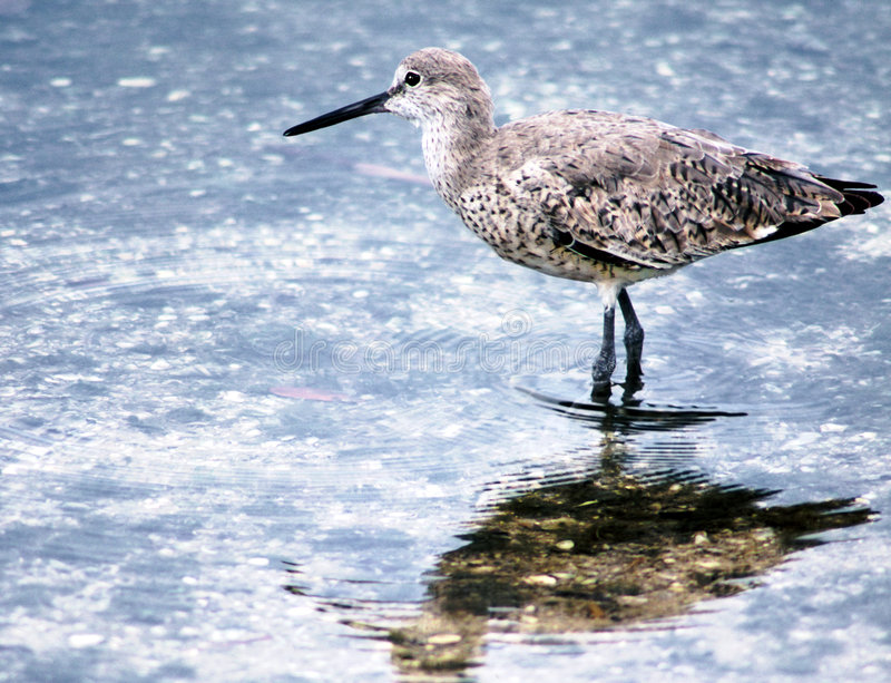 Download Sandpiper stock photo. Image of pond, piper, nature, sand - 55694