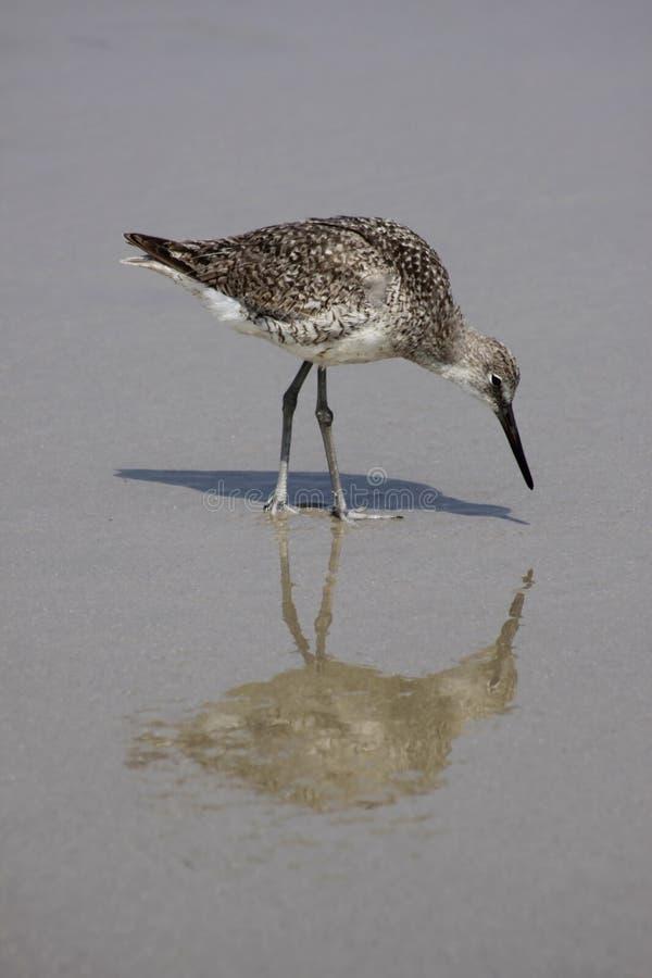sandpiper zdjęcie royalty free