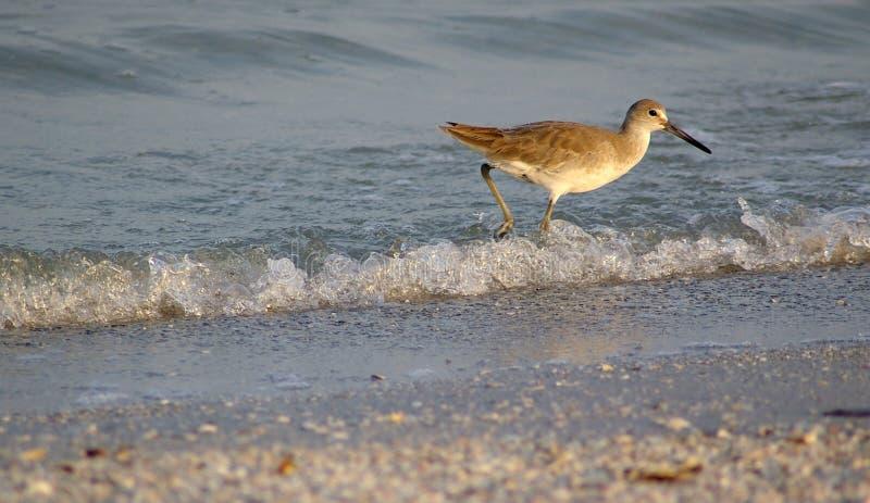 Sandpiper stock photo