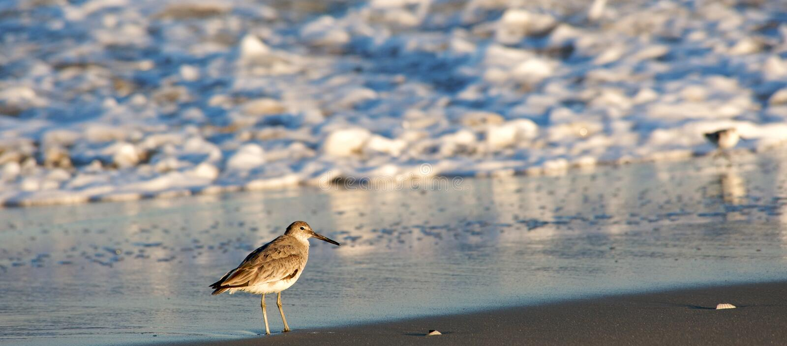Download Sandpiper on beach stock image. Image of beauty, water - 9169533