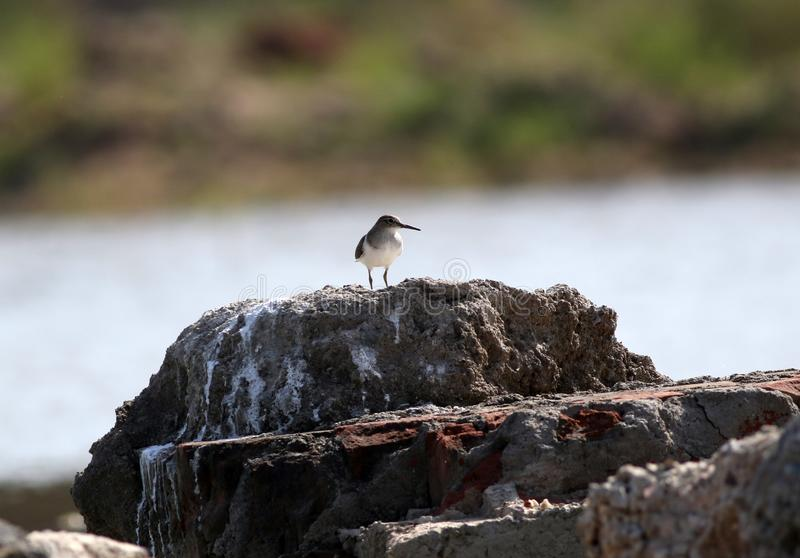 Sandpiper royalty free stock photos