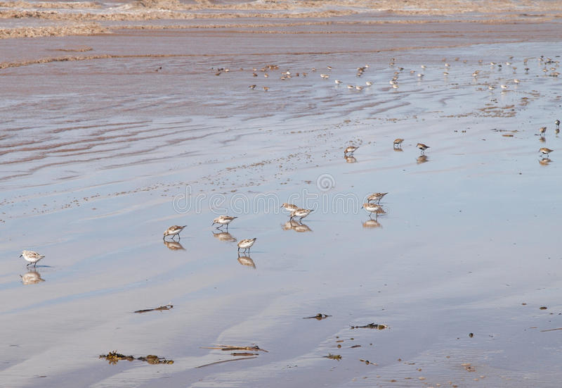 Sandpiper birds on a sandy beach royalty free stock image