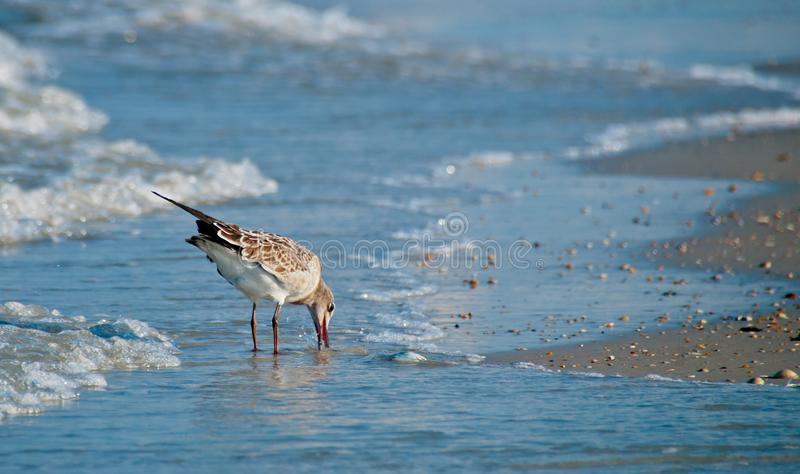 Sandpiper Eating at the Beach stock images