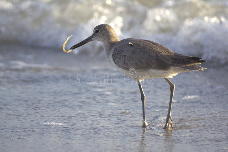 Sandpiper Eating On The Shore Stock Image