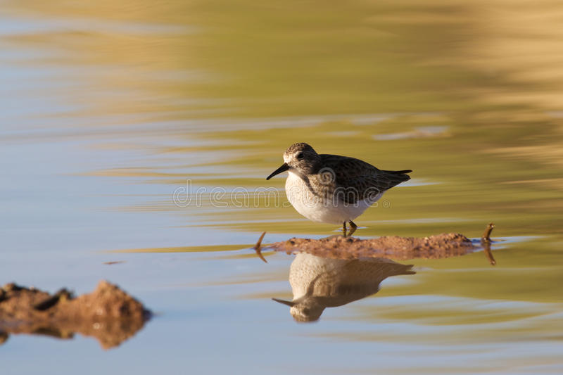Sandpiper Reflected In Water Stock Photos