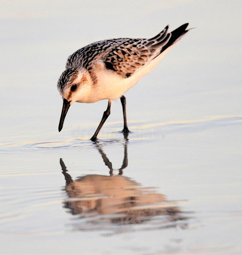 The sandpiper remains ever vigilant for predators as it huntsfor prey. Sandpipers are consistent hunters and manage to stay just ahead of the waves while doing royalty free stock photography
