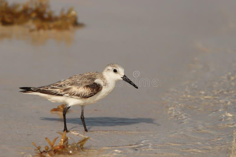 Download Sandpiper at shoreline stock image. Image of seashore - 23404447