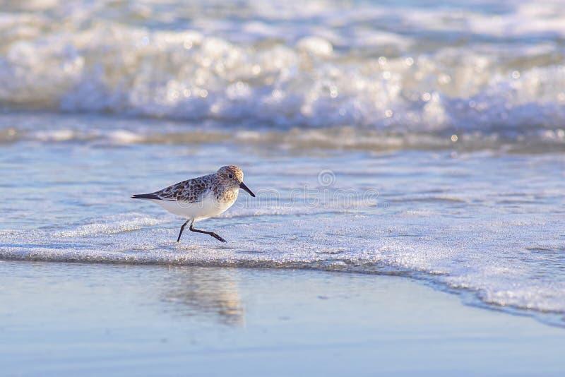Sandpiper Sur La Plage image libre de droits