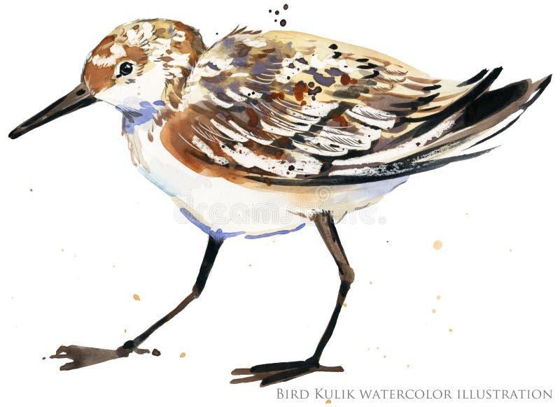 Sandpiper water bird watercolor illustration. Sea bird vector illustration