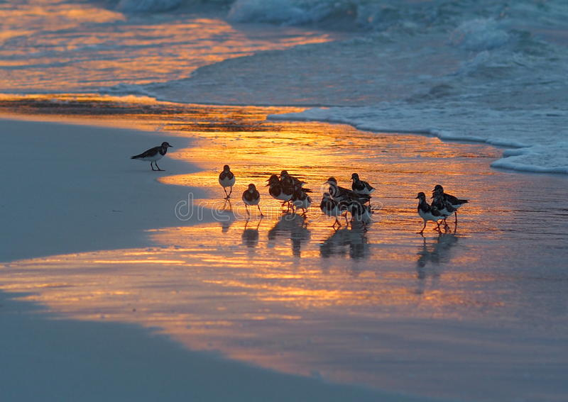 Download Sandpipers On Beach In Cuba Stock Image