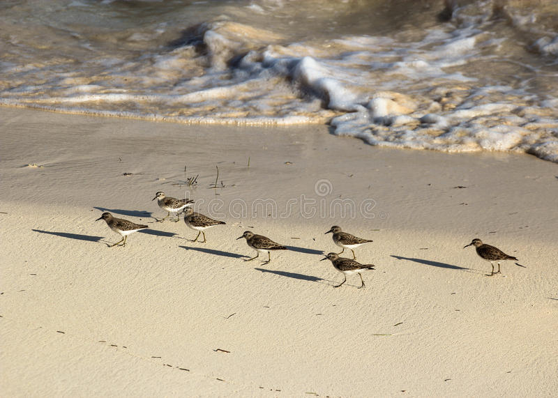 Sandpipers Parading in the Sand Along a Coastal Shoreline royalty free stock image
