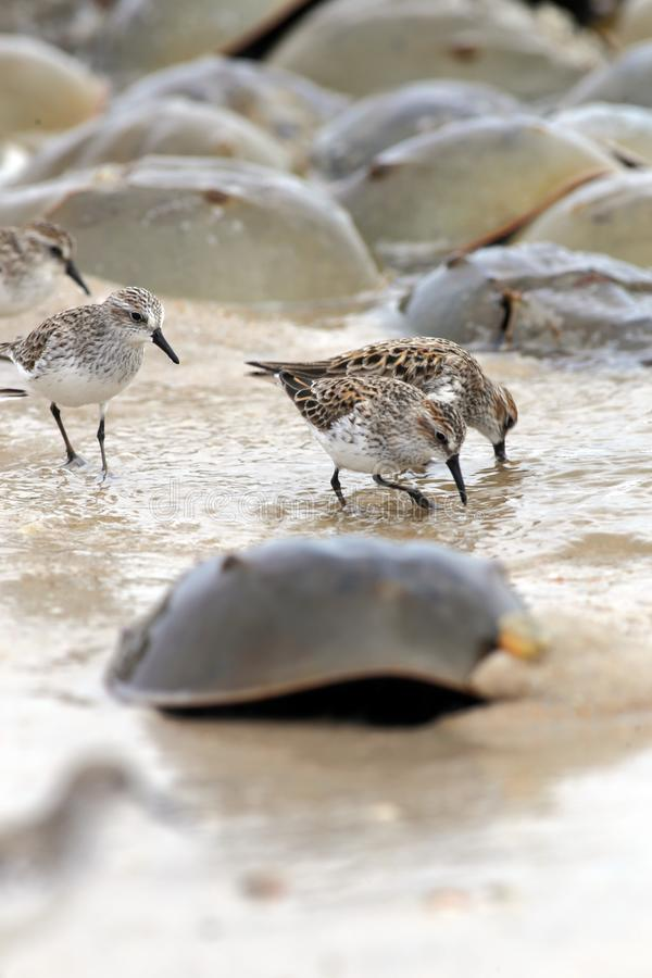 Couple Sandpipers eating near horse crabs on the Delaware Bay stock photos