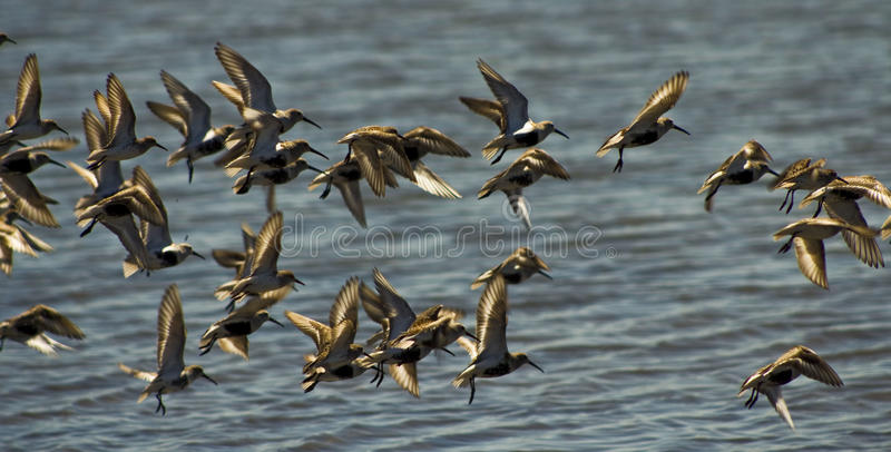 Sandpipers take flight royalty free stock photography