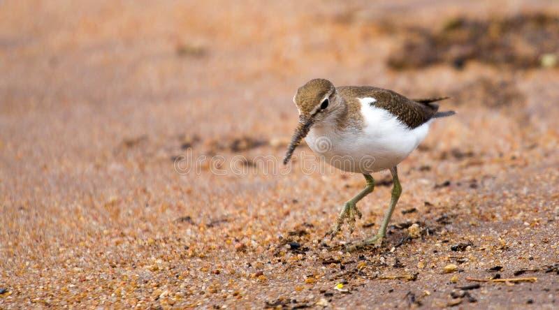 Sandpipper image libre de droits