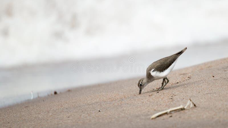Sandpipper photos libres de droits