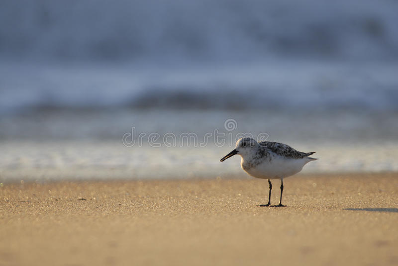 Sandpipper and waves stock photography