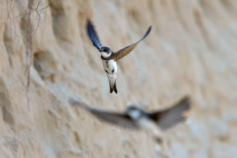 Sandsvalan, Ripariariparia, enkel fågel i flykten royaltyfri fotografi