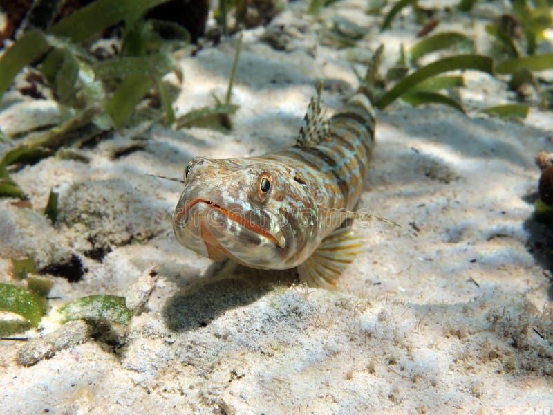 Sandtaucherfische stockfotos