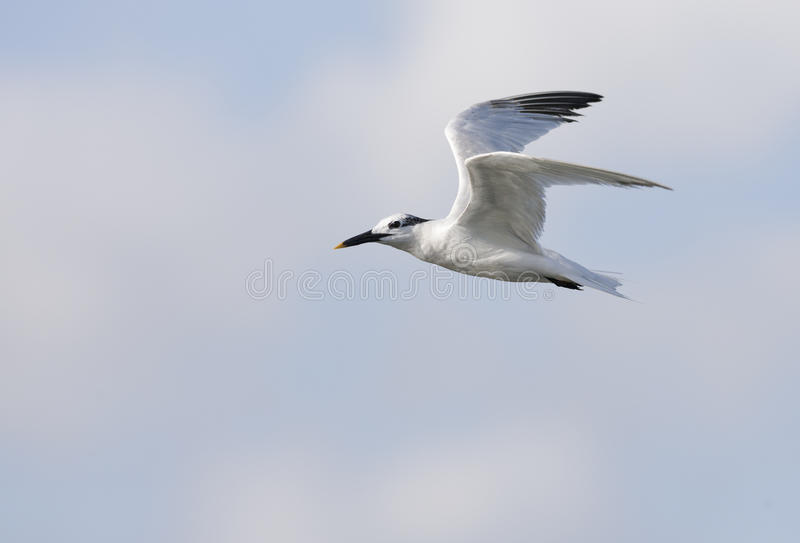 Download Sandwich Tern stock image. Image of animal, creature - 13636613