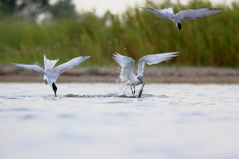 Sandwich Tern and Common Tern. royalty free stock photography