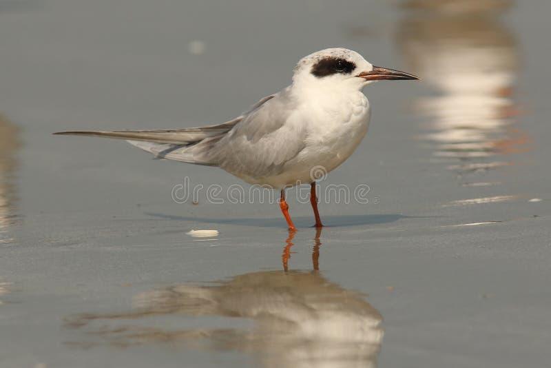 Download Sandwich Tern - Cumberland Island Royalty Free Stock Photos - Image: 22656908
