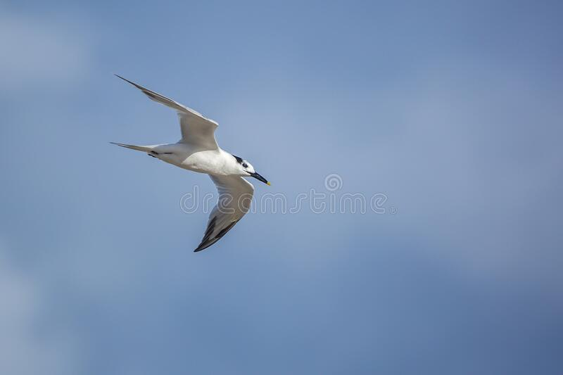 Sandwich tern royalty free stock photo