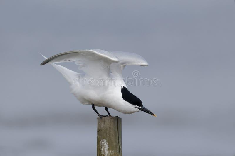 Sandwich tern, Sterna sandvicensis royalty free stock photos