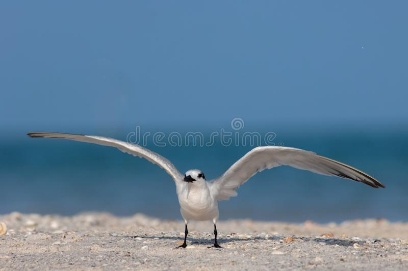 A sandwich tern preparing to take flight at the beach in Florida. A sandwich tern Thalasseus sandvicensis with non-breeding plumage prepares to take flight from stock photography