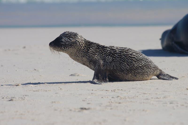 Download Sandy baby sea lion stock image. Image of wildlife, beach - 22106935