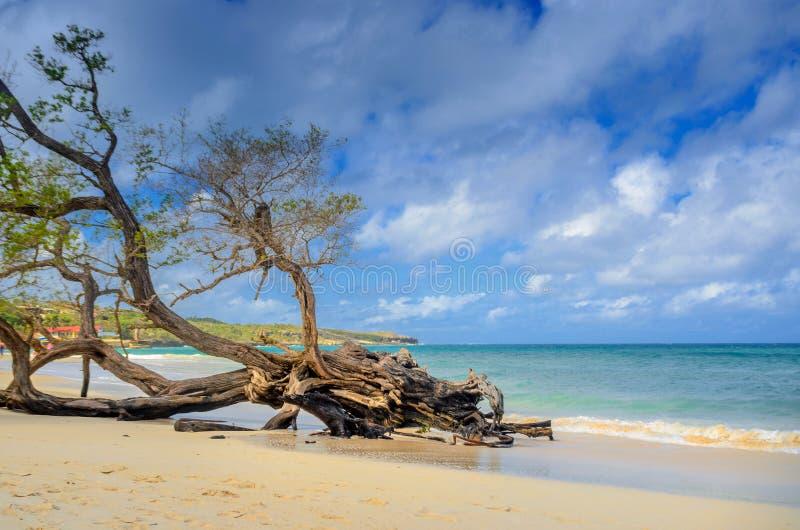 Sandy Beach bonito da costa cubana com uma árvore velha grande fotografia de stock royalty free
