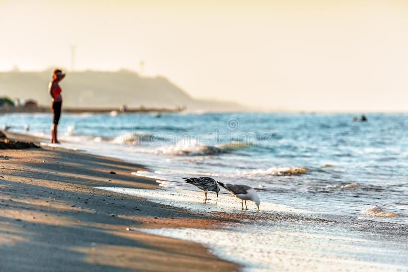 Sandy beach shoreline at Black Sea coast with seagulls drinking water at sunset by Anapa resort stock photo