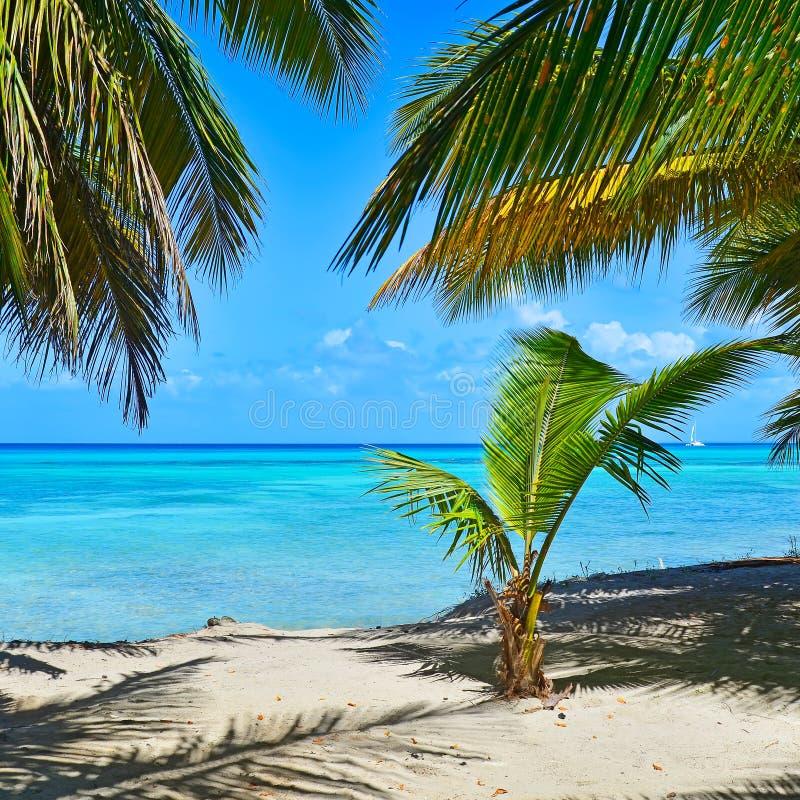 Sandy Caribbean Beach met Kokosnotenpalmen en Blauwe Overzees Saon stock foto's