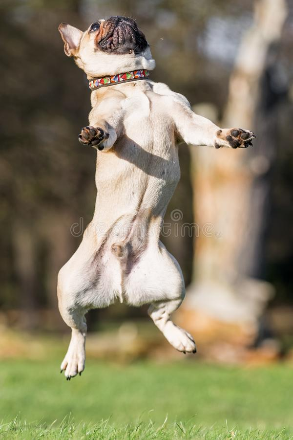 A sandy french bulldog jumping in the air royalty free stock images