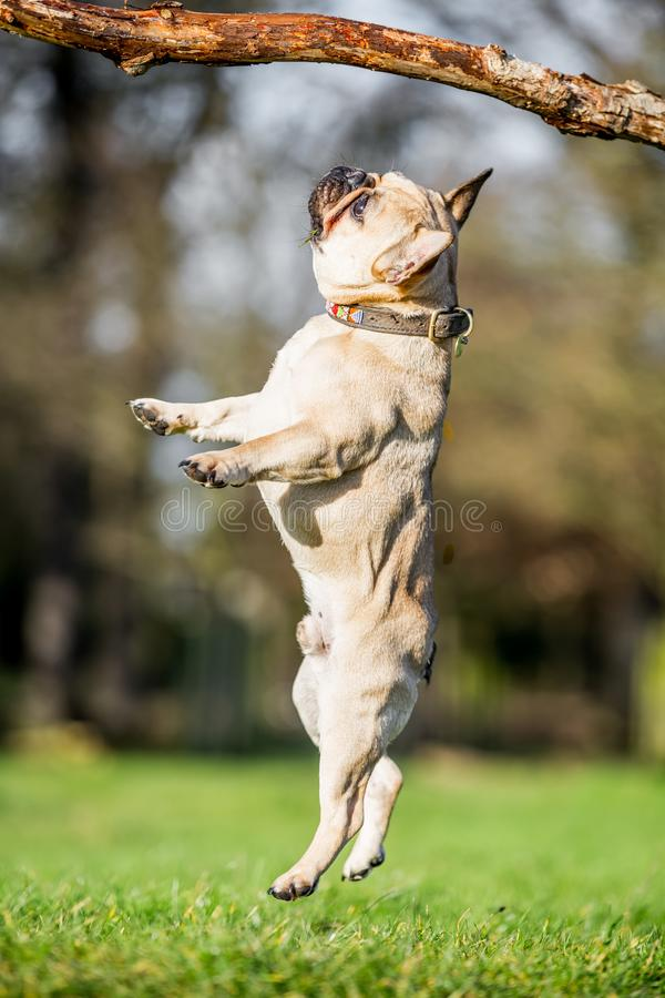 A sandy french bulldog jumping towards a large branch. Over a field of grass with trees in the distance stock image