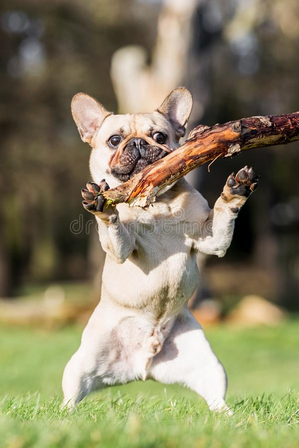 A sandy french bulldog trying to grab a large stick royalty free stock photos