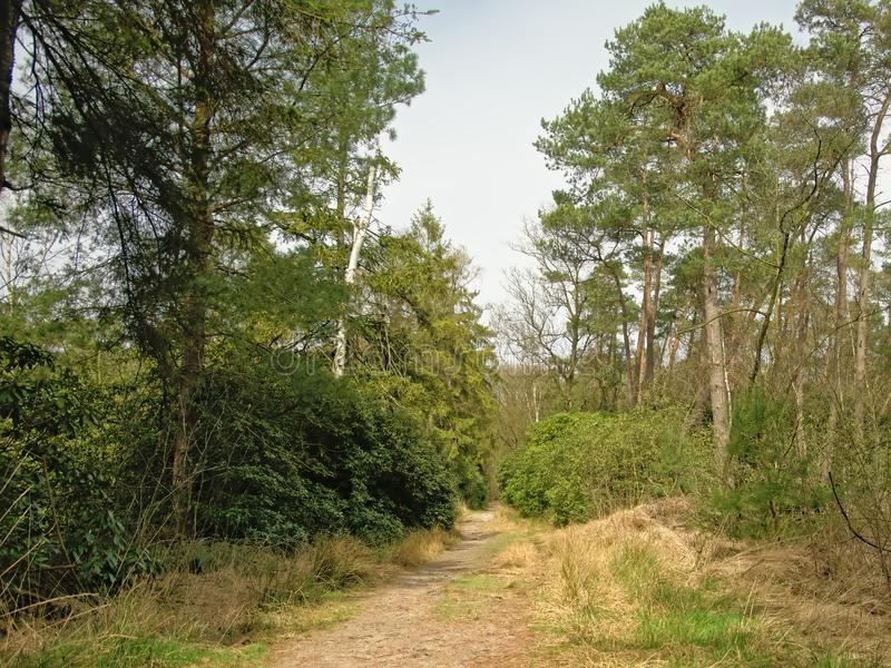 Sandy path in abetween pine trees in a heath landscape. Kalmthout, flanders, Belgium royalty free stock image