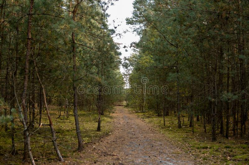 Sandy path in a forest. Sandy path through forest full of small pine trees royalty free stock photography