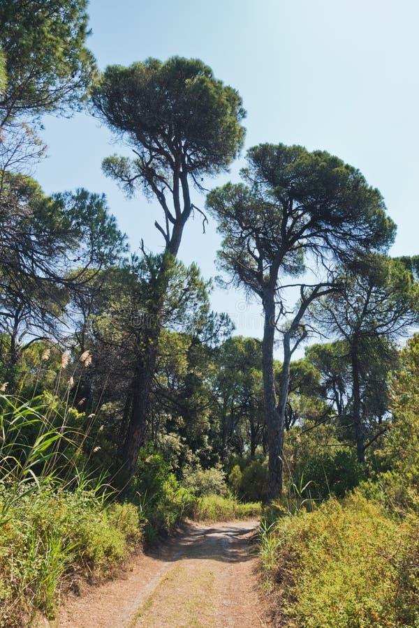 Sandy path through pine tree forest near Koukounaries beach, morning at Skiathos island. Greece royalty free stock photo