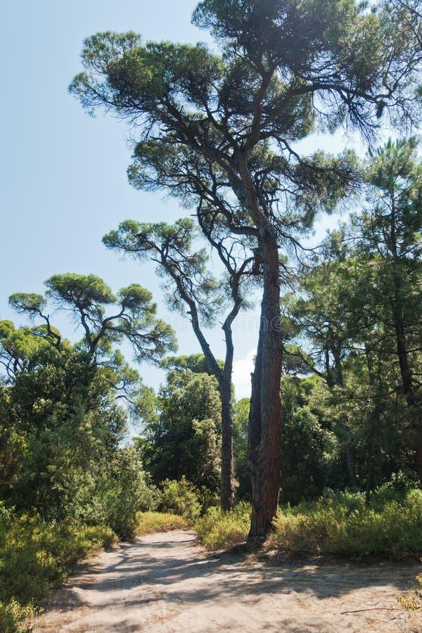 Sandy path through pine tree forest near Koukounaries beach, morning at Skiathos island. Greece royalty free stock photography