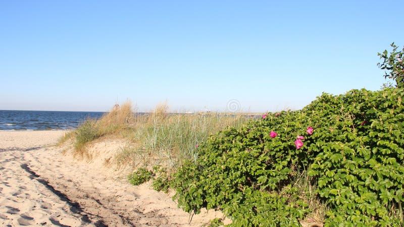 Sandy Pathway With Wild Roses fotografering för bildbyråer