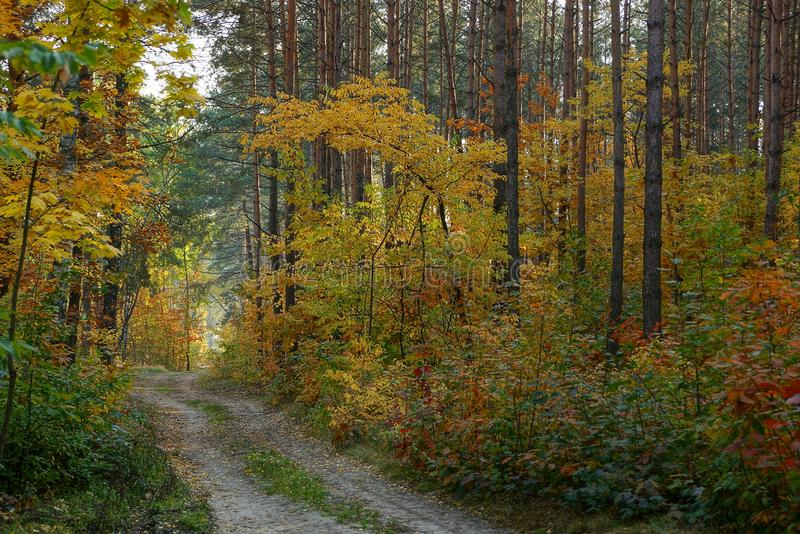 Sandy road along the pines and vegetation with colored leaves. Part of autumn forest with road and colored vegetation royalty free stock photos
