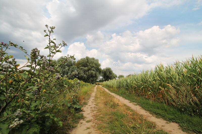 Sandy road through the fields of corn and sunflowers royalty free stock photography