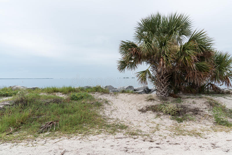 The sandy shore of the Gulf of Mexico, Florida, USA. Palm tree growing on the sandy shore of the Gulf of Mexico, Florida, USA royalty free stock photos