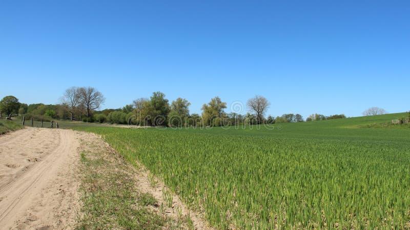 Sandy Way And Young Wheat planta royaltyfria foton