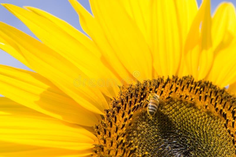 Sanflower e un ape fotografia stock